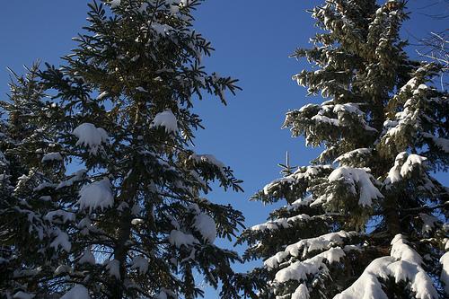 sapin-neige