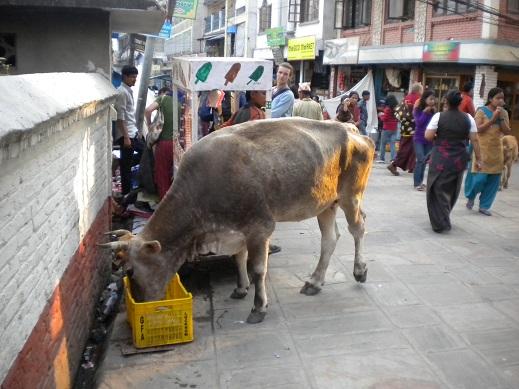 vache-sacree-nepal