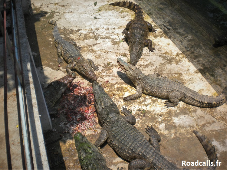 ferme-crocodile-battambang